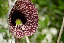 Dutchman's pipe is gaining support as a diarrhea treatment